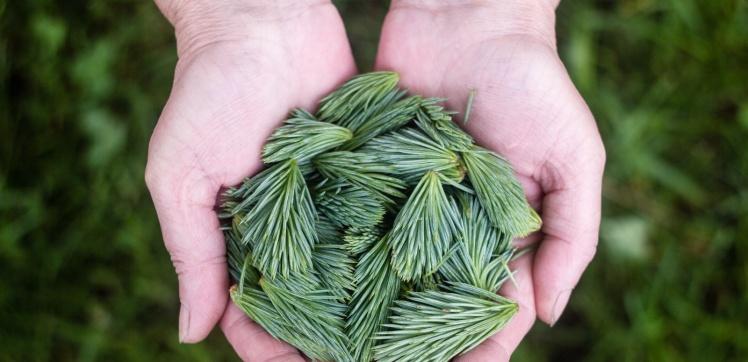 hands giving pine